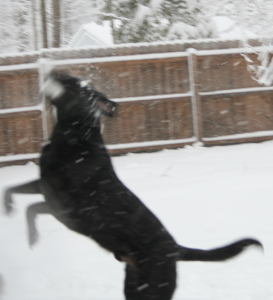 Black dog playing in snow